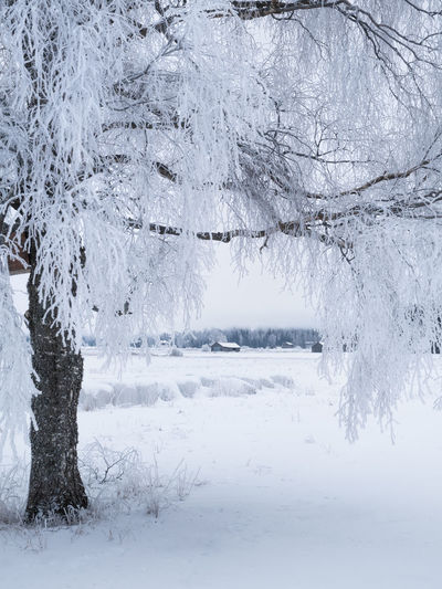White winter landscape with frosty tree at daytime in Finland Snow Cold Temperature Winter Tree Beauty In Nature Tranquility Tranquil Scene Day White Color Covering Nature Scenics - Nature Extreme Weather Outdoors Snowing No People Non-urban Scene Finland Landscape Frost Countryside House Tree Trunk Snowy Cloudy