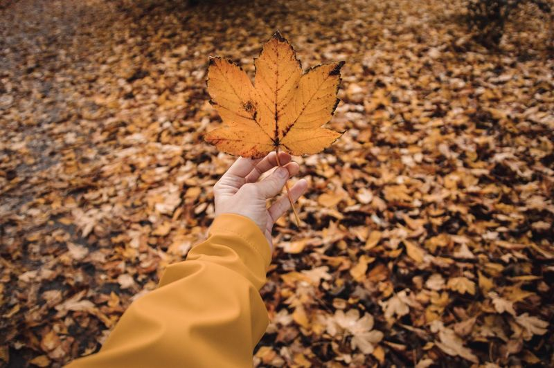 Low angle view of person holding maple leaves