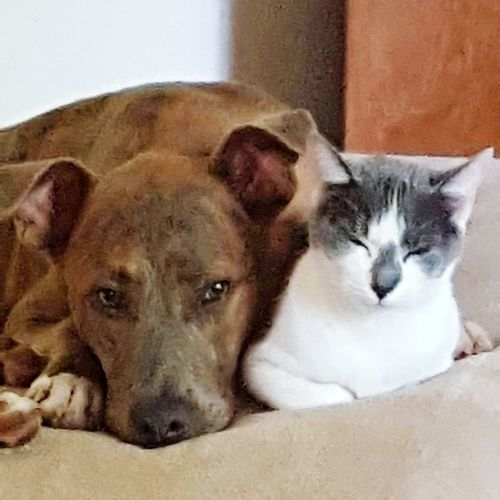 Pet siblings. Looking At Camera Pets Portrait Animal Mammal No People Domestic Animals Animal Themes Dog Indoors  Cold Temperature Close-up Day Pet Siblings Pitbull Rescue Dog Rescue Cat They Love Each Other  Spartanburg, SC Love My Life