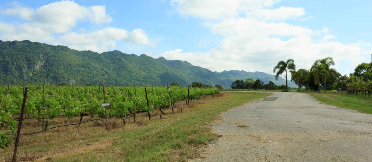 Agriculture Beauty In Nature Day Field Grape Grape Vine Grapefruit Grapes Grapes Nature Photography Grapes 🍇 Grapevine Grapevines  Growth Landscape Landscape #Nature #photography Landscape_photography Landscapes Lansdcape Nature No People Outdoors Scenics Sky Thailand Tree