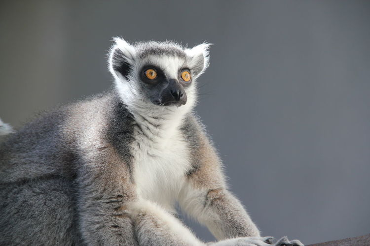 Close-up of lemur looking away