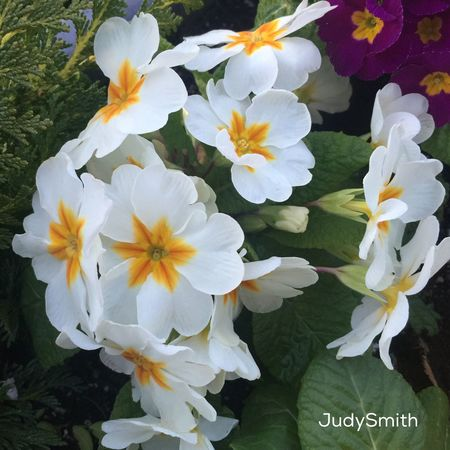 Spring Is Here 🌞 beautiful primroses Iphonephotography IPhone 6+ IPS2016Nature