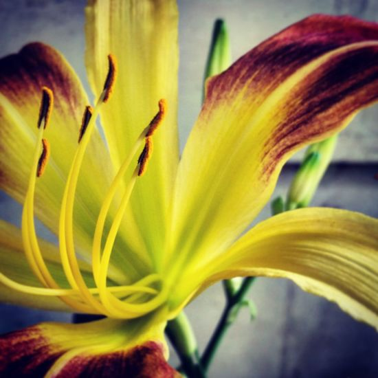 Flower Petal Yellow No People Fragility Flower Head Freshness Nature Beauty In Nature Outdoors Close-up Day Plant Day Lily Beauty In Nature Garden Gardening Springtime Nature Plant New Life Growth Leaf Lovely Floral Photography EyeEmNewHere