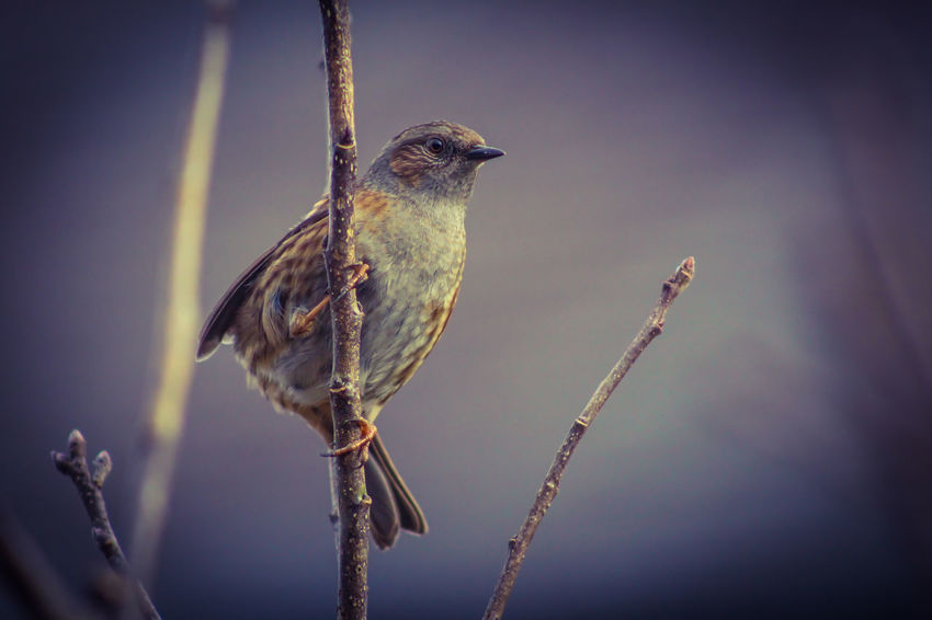 Dunnock Animal Themes Animal Wildlife Animals In The Wild Beauty In Nature Bird Close-up Day Nature No People One Animal Outdoors Perching Sparrow