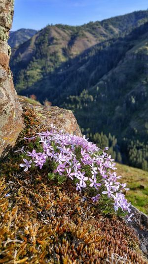 Purple flowers blooming against mountains