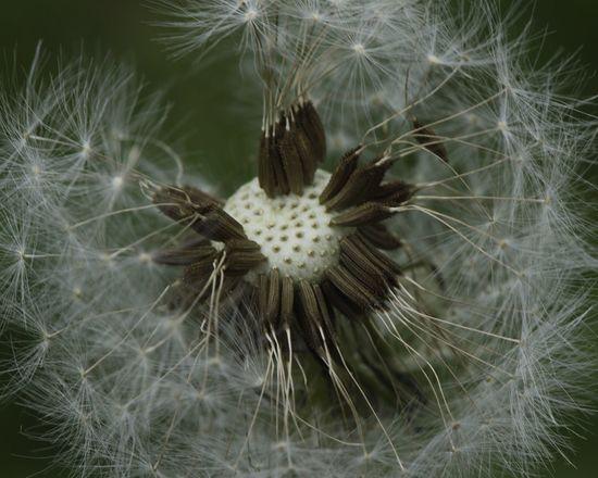 Allergy season D5500 Flower Flowering Plant Fragility Plant Vulnerability  Close-up Beauty In Nature Dandelion