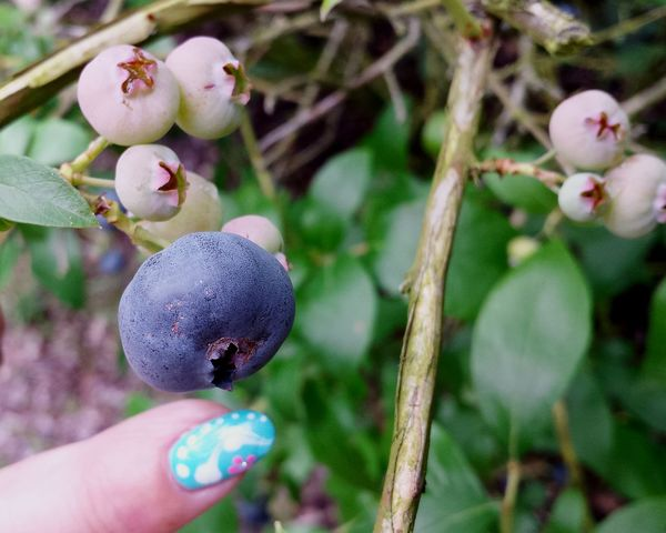 Blue Berry, Giant Blue Berry and Fingernail in Comparison , Check This Out Flowers, Nature And Beauty Fruits Plantation Blue Berry Plantation Unripe Blueberries Blueberry Macro Close Up Close-up Beautiful Nature Ladyphotographerofthemonth Showcase August Visual Feast
