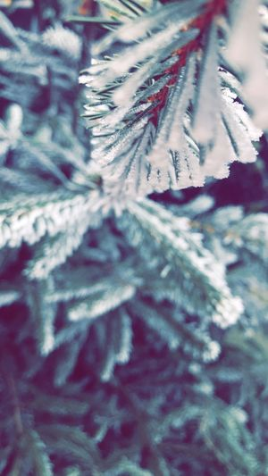 Europe Romania Green Blue Fir Tree Close-up Plant Cold Temperature Winter Selective Focus No People Backgrounds Nature Tree Growth Full Frame Day Snow Beauty In Nature Christmas Frozen Pine Tree Outdoors Focus On Foreground Coniferous Tree