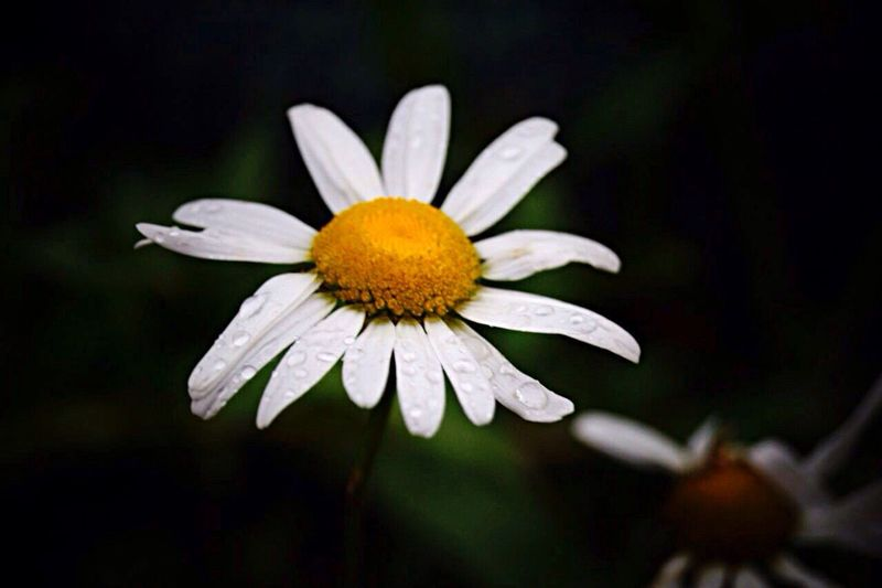 Daisy After The Rain Chamomile