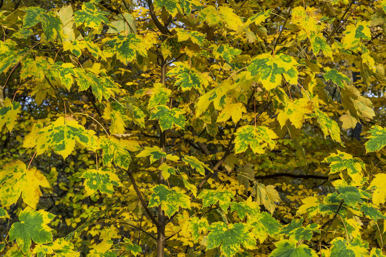 Full Frame Close-Up of Withered Leaves on Tree Berlin Germany 🇩🇪 Deutschland Horizontal Outdoors Color Image Plant Plant Part Leaf Nature Day Autumn Forest Yellow Full Frame Growth Tree Beauty In Nature Backgrounds Green Color Close-up Leaves Sunlight Withered  No People