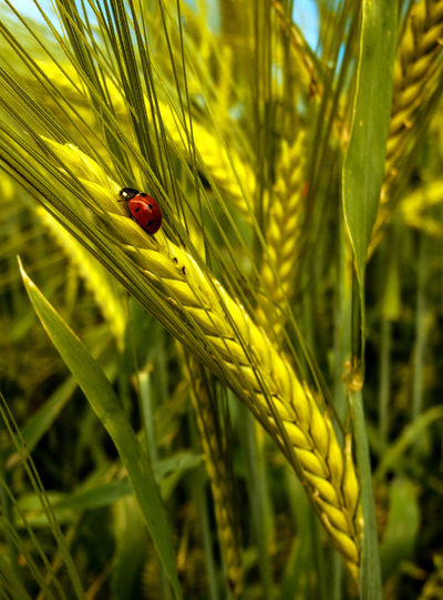 Animal Themes Animal Wildlife Animals In The Wild Beauty In Nature Close-up Day Grano Grass Green Color Growth Insect Ladybug Nature No People One Animal Outdoors Plant Red Tiny Wheat