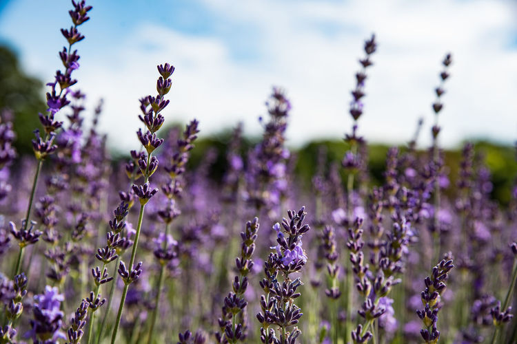 Lavender Fields Selective Focus Land Lavender Colored Focus On Foreground Fragility Nature Lavender Vulnerability  Beauty In Nature Freshness Flowering Plant Herb Outdoors Flower Head Springtime Field No People Petal Purple Growth Close-up Day Softness Plant Flower