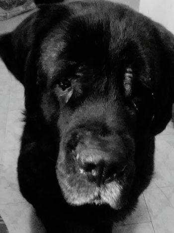 Fiona English Mastiff I Love My Dog Pet Photography  Hello World Dog❤ Good Girl  Love Her ❤ Check This Out Hi!