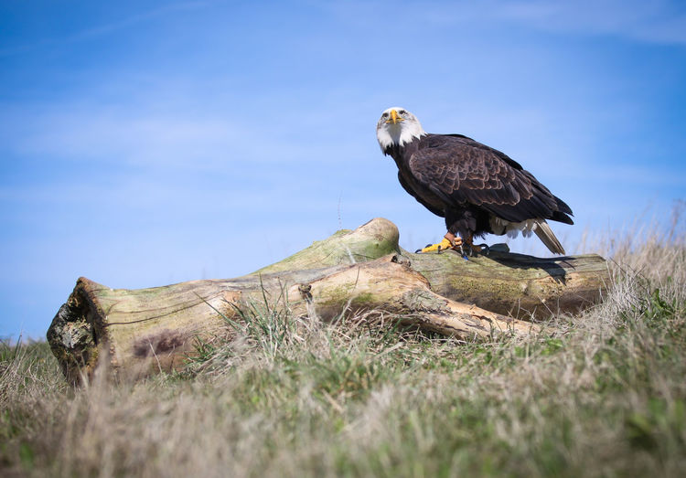 Bald eagle perching on fallen tree on field against sky