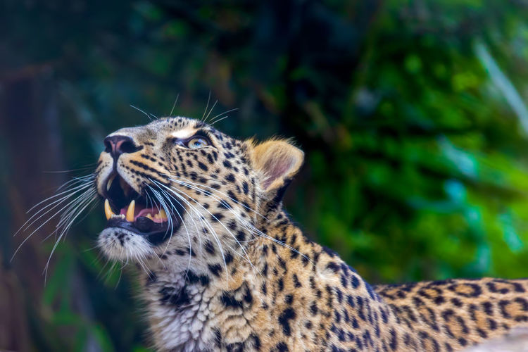 Animal Feline Mammal Animal Wildlife Animals In The Wild Animal Themes Cat Big Cat One Animal No People Focus On Foreground Leopard Spotted Animal Body Part Whisker Mouth Open Mouth Tree Close-up Animal Head  Outdoors Animal Teeth Aggression  Roaring Undomesticated Cat