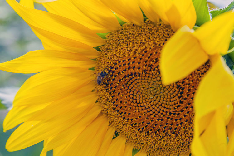 Flower Flowering Plant Petal Yellow Flower Head Fragility Freshness Inflorescence Vulnerability  Growth Beauty In Nature Plant Pollen Close-up Sunflower Animals In The Wild Nature No People Invertebrate Pollination