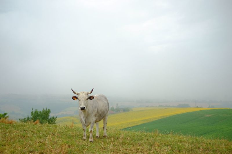 Cow on field against sky in foggy weather