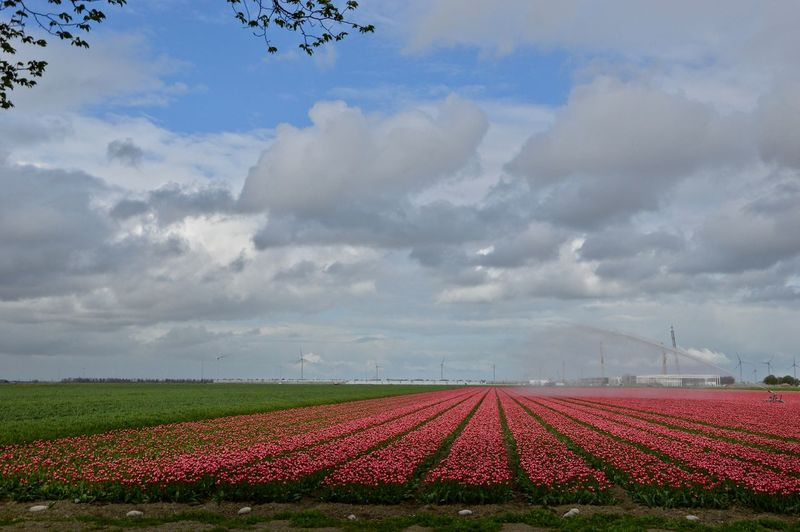 Field Agriculture Beauty In Nature Rural Scene Environment Nature Plant Flowering Plant Outdoors Flower No People Land Tulips Flowers Tulips Öland Olanda 🇳🇱 Sky And Clouds Green Color EyeEmNewHere Eyem Gallery Eyemphotography EyEmNewHere Eyem Eyemnaturelover💙