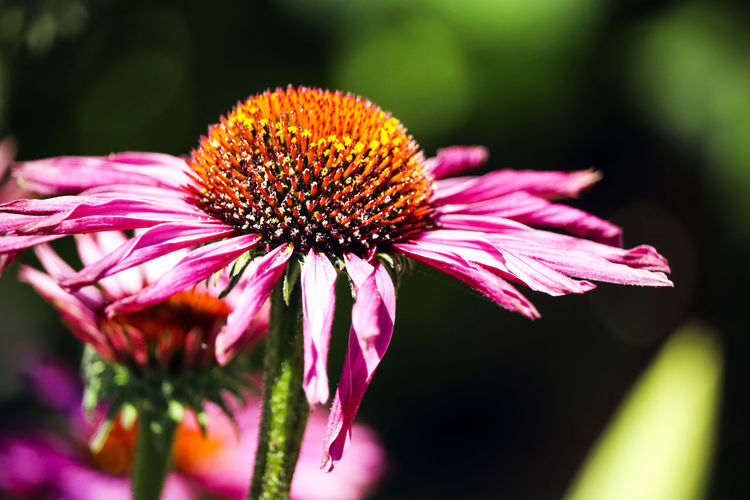 Pink garden flower. Beauty In Nature Close-up Coneflower Day Flower Flower Head Flowering Plant Focus On Foreground Fragility Freshness Growth Inflorescence Nature No People Petal Pink Color Plant Pollen Purple Selective Focus Sepal Spring Summer Vulnerability