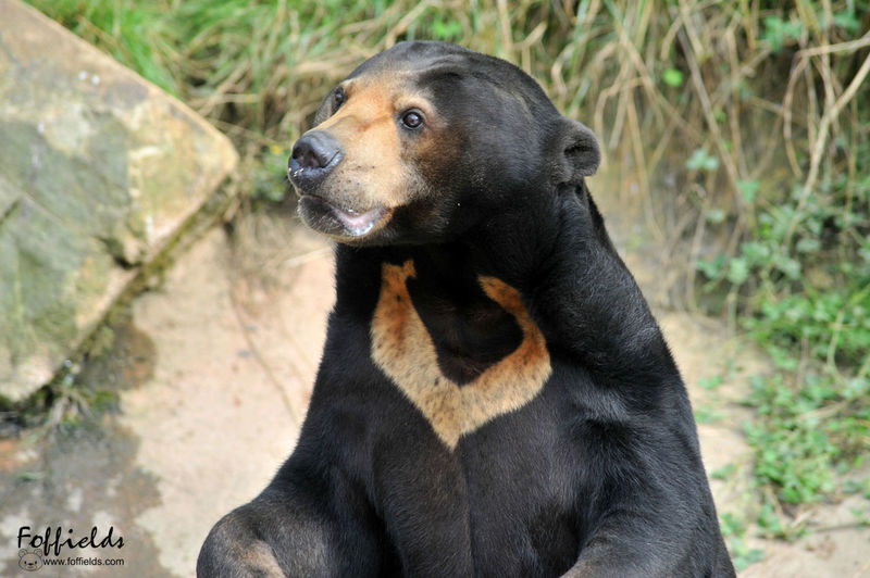 Sun bear Zoo de Trégomeur (22 Côtes d'Armor) FRANCE Parczoologique ZOO-PHOTO Zoo Animaux Animaux Protect Nature No People Outdoors Photoanimal Photooftheday Quietplace Zoo Photography  Zoology Zooparc Zoopark Zoophotography