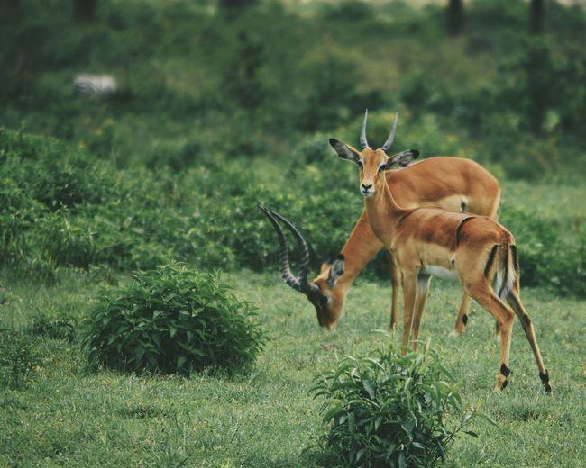 Impala antelopes - aepyceros melampus, in crater lake game sanctuary, naivasha, kenya