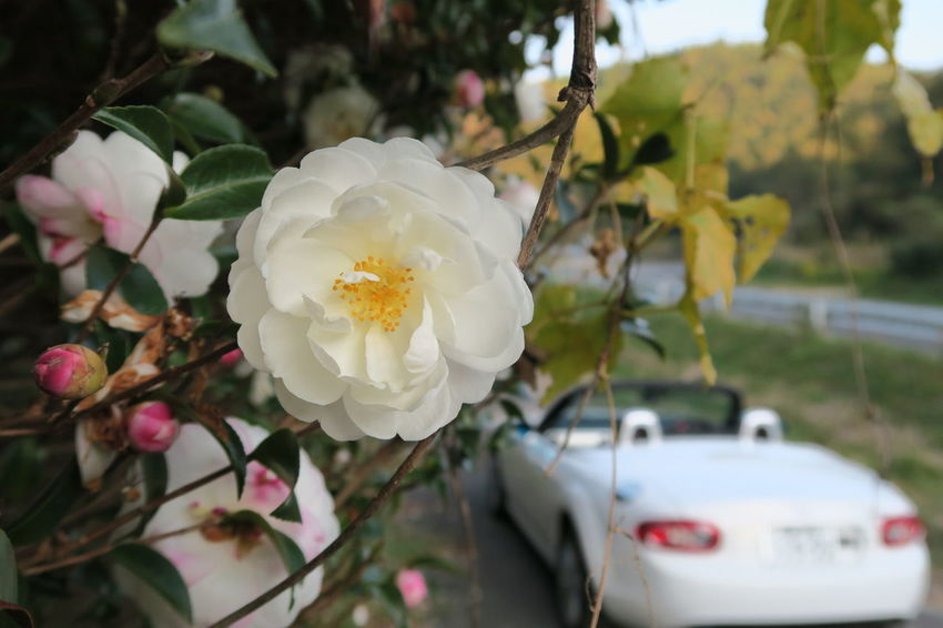 Mazda Car Japan Saga Flower Nature Beauty In Nature Mx5 Miata Mx5 Roadster ロードスター マツダ