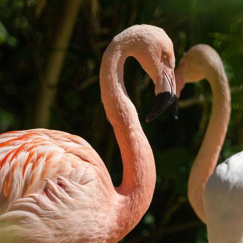 Flamingos mit