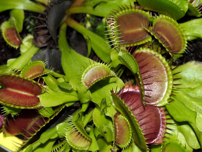 Close-up of venus flytrap growing outdoors