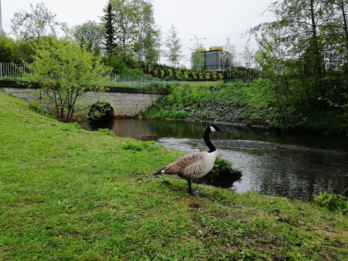 'Avoiding Being Spotted By Swankings Rage I Guess, He Absolutely Hates Canadagees, With A Passion! And He Will Fright & Bite Them, If Close!' Animals In The Wild Bird Animal Themes Water Animal Wildlife One Animal Lake No People Tree Nature Day Goose Water Bird Green Color Outdoors Grass Tranquility Swimming Bird Photography Nature Growth Spring 2017 Oslo,norway KariJosefiné✨