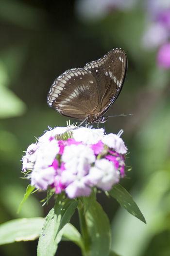 Pink Butterfly Flower Sharp