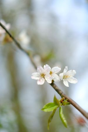 Flower Head Tree Flower Branch Springtime Petal Blossom White Color Twig Apple Blossom In Bloom Blooming