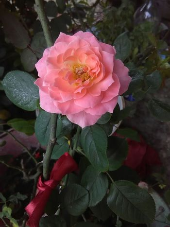 Nature Pink Color Rose - Flower ISO Camera Cellphone Photography Fotografia Lovelovelove Flower Plant First Eyeem Photo Cuteeee♥♡♥ Flower Head Beauty In Nature Plant Diadelosmuertos FotoDelDia