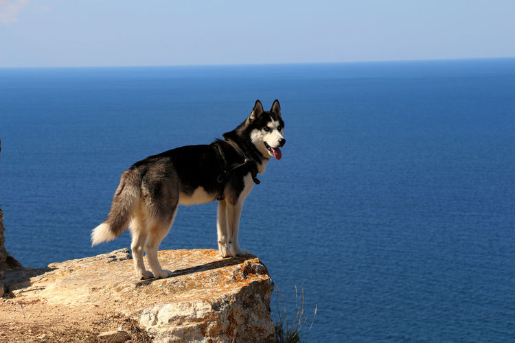 Husky Standing On Cliff Against Blue Sea