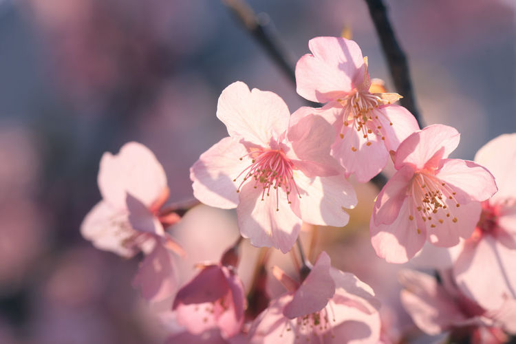 Almond Tree Beauty Beauty In Nature Blossom Close-up Day Flower Flower Head Fragility Freshness Growth Nature No People Outdoors Petal Pink Color Plant Plum Blossom Springtime Sunlight
