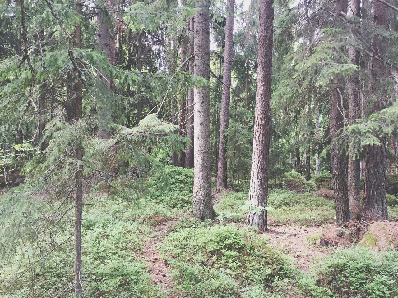 tree, tree trunk, forest, nature, no people, day, tranquility, growth, pine tree, beauty in nature, outdoors, tranquil scene, landscape, scenics, green color, grass