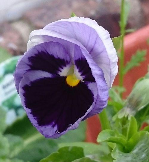 Pansy... Flower
