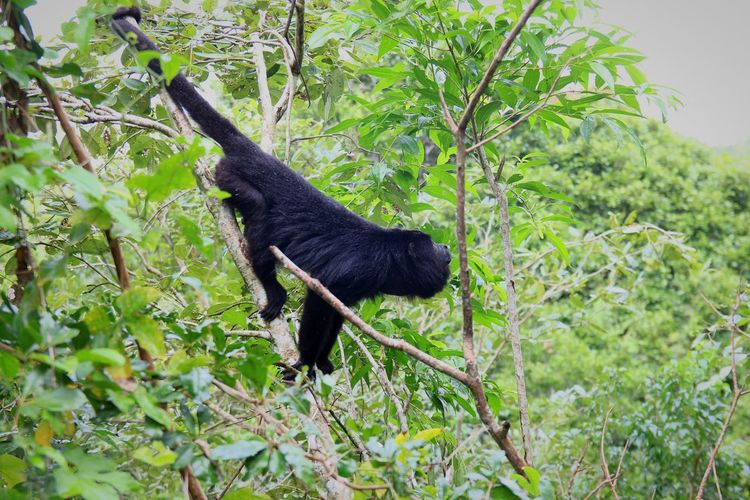 Brüllaffe Monkey Monkey In The Tree Nature Animals In The Wild Tree Black Color Branch Leaf Plant Green Color The Great Outdoors - 2018 EyeEm Awards