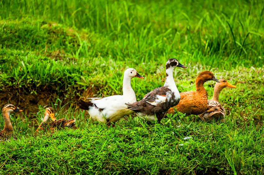Symmetry! Ducks are giving pose for photography! Taking Photos Ducks Duck Symmetry Pose Grass Landscape_Collection Landscape EyeEm Best Shots EyeEm Nature Lover Nature Green