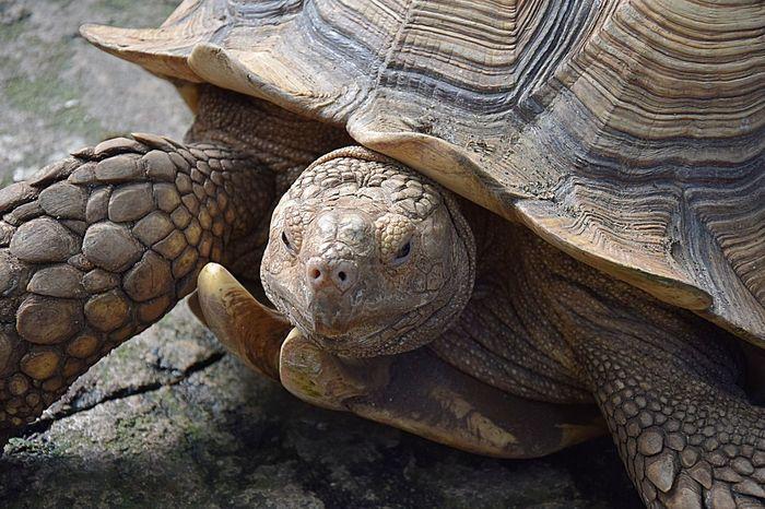 Animal Shell Animal Themes Animal Wildlife Close Up Close-up Day Nikkor 18-105mm NIKON D5300 Nikonphotographer Nikonphotography No People Randersregnskov Reptile Tortoise Tortoise Shell Turtle Zoology EyeEmNewHere EyeEmNewHere