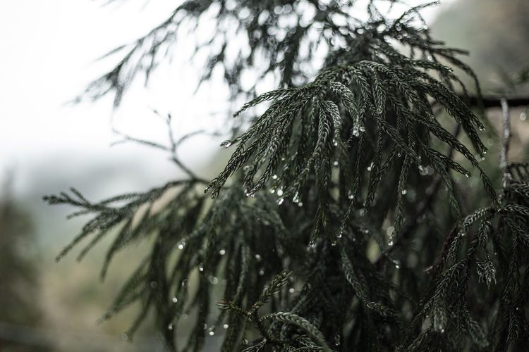 Rainy day in the snow monkey forest in Nagano. Japan Beauty In Nature Branch Close-up Cold Temperature Day Drop Evening Evergreen Focus On Foreground Growth Nature No People Outdoors Pine Tree Plant Rain RainDrop Rainy Season Selective Focus Snow Tranquility Tree Wet Winter