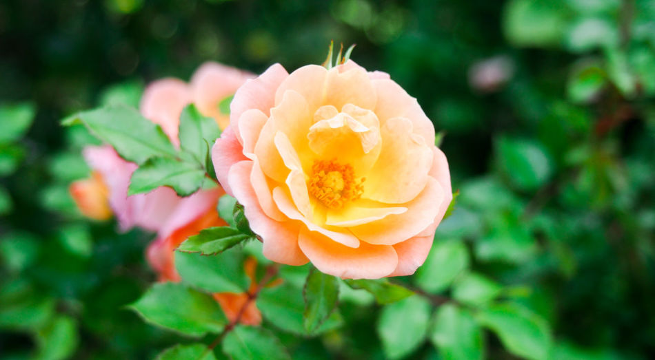 A lovely peach color rose Green Love Orange Pink Valentine's Day  Beauty In Nature Bloom Blossom Botanical Garden Close-up Floral Flower Flower Head Freshness Nature Outdoors Petal Plant Rose - Flower