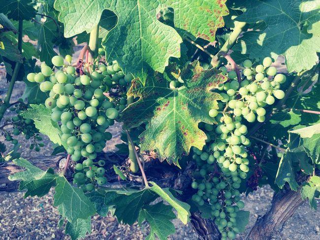 Not quite ready to drink Vineyard Winery Lorimar Winery & Vineyard