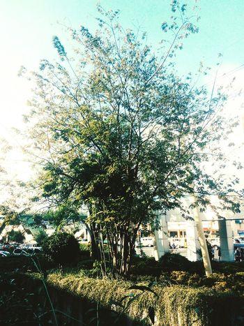 The tree is pretty good, however the traffic is not. Tree Plants TrafficCars Photo Photography Vintage VSCO Vcsocam Minimal Minimalism Minimalist EyeEm Nature Lover EyeEmNewHere