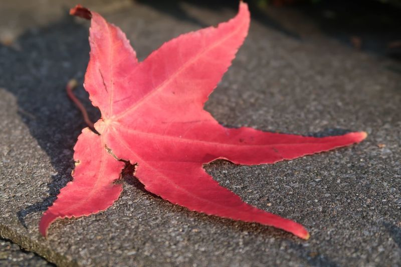Autumn Autumn colors Red Close-up Autumn Leaf Change Nature Plant Part Day No People Falling Fragility Maple Leaf Vulnerability  Beauty In Nature Outdoors High Angle View Plant Focus On Foreground Dry Sunlight