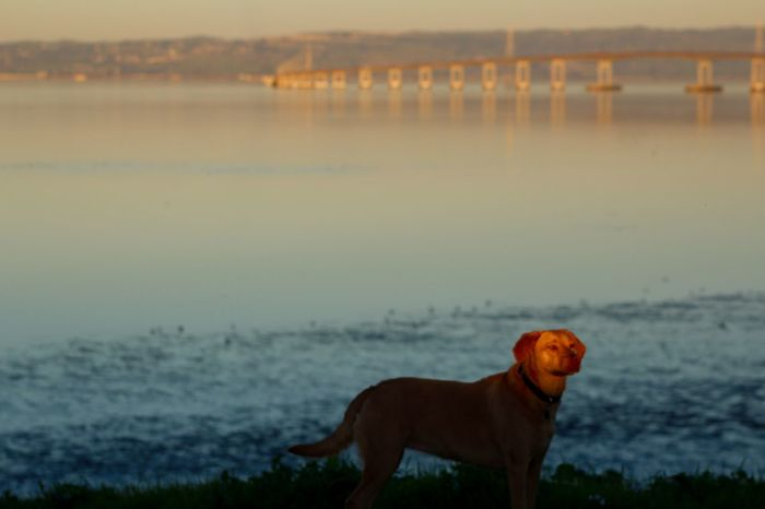 San Mateo Bridge ; Dogs Of EyeEm ; Dogs Learn & Shoot: Single Light Source ; Water_collection ; Dignity Mansbestfriend ; Dog Love ; Dog❤ ; Dogstagram Sunset_collection ; Sunset ; Beautiful Sunset Bridge Bridgesaroundtheworld Bridge - Man Made Structure EyeEm Masterclass