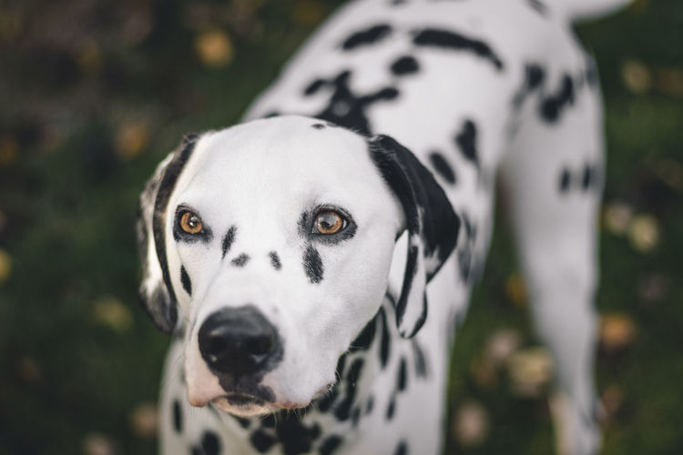 Close-Up Alert Of Dalmatian Dog