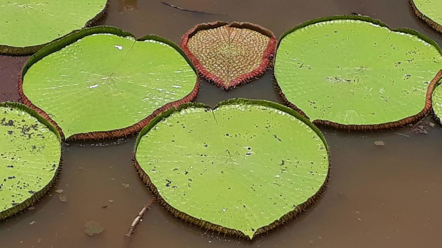 Water Green Color Floating On Water Vitoria Regia Beauty In Nature Plant Part Lake Nature Plant