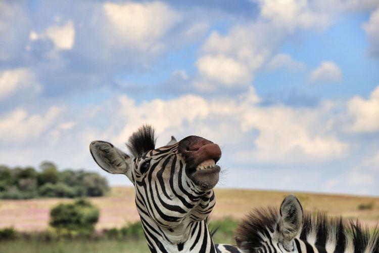 Giraffe against sky