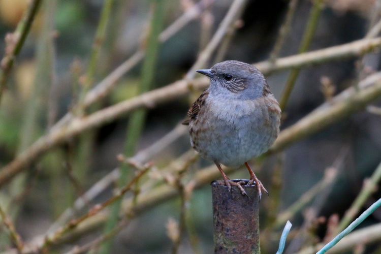 Dunnock Bird Animal Themes Animal Vertebrate One Animal Animal Wildlife Animals In The Wild Perching Branch Day Close-up No People Focus On Foreground Plant Tree Nature Outdoors Selective Focus Robin Beauty In Nature