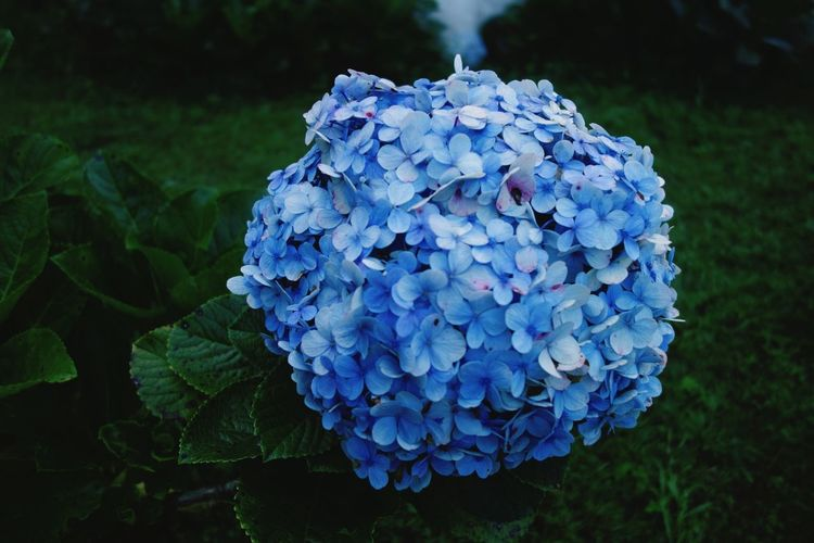 Close-up of blue hydrangea blooming outdoors